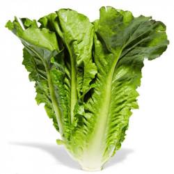 Romaine lettuce / 罗马生菜 - 1个